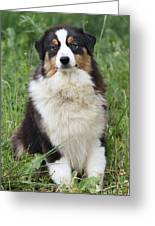 Australian Shepherd Dog Greeting Card