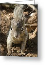 Baby Rock Squirrel Greeting Card