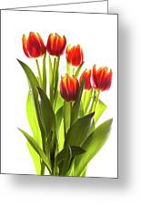 Backlit Tulip Flowers Against White Greeting Card