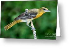 Baltimore Oriole Icterus Galbula Greeting Card
