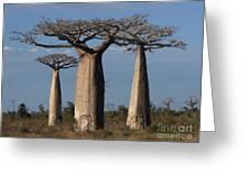 baobabs of Madagascar Greeting Card