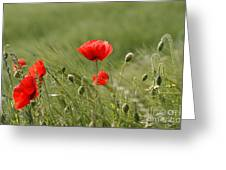 Beautiful Poppies 4 Greeting Card
