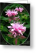 Bee Balm Named Panorama Pink Greeting Card