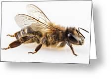 Bee Species Apis Mellifera Common Name Western Honey Bee Or Euro Greeting Card