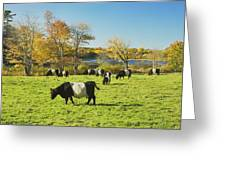 Belted Galloway Cows Grazing On Grass In Rockport Farm Fall Main Greeting Card
