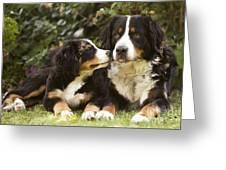 Bernese Mountain Dogs Greeting Card