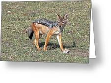 Black Backed Jackal Greeting Card