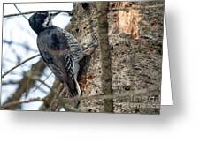 Black-backed Woodpecker Greeting Card