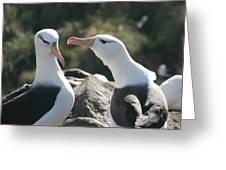Black Browed Albatross Pair Greeting Card
