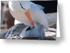 Black-browed Albatross With Chick Greeting Card