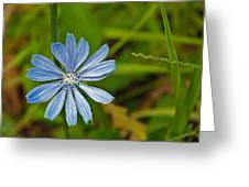 Blue Chicory Flower  Greeting Card