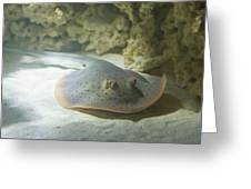 Blue Spotted Fantail Ray  Greeting Card