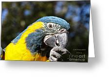 Blue Throat Macaw Greeting Card