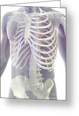 Bones Of The Torso Greeting Card