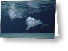 Bottlenose Dolphin  Pair Hawaii Greeting Card