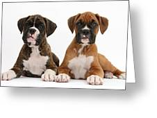Boxer Puppies Greeting Card