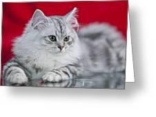 British Longhair Kitten Greeting Card