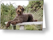 Brown Labradoodle Greeting Card