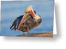 Brown Pelican Preening Greeting Card