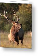 Bugling Bull Elk Greeting Card