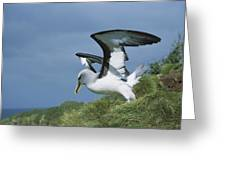 Bullers Albatross With Colorful Bill Greeting Card