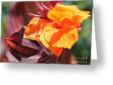 Canna Lily Named Durban Greeting Card