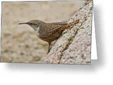 Canyon Wren Greeting Card