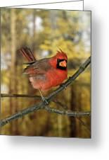Cardinal Rouge Cardinalis Cardinalis Greeting Card