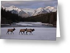 Elk Crossing, Banff National Park, Alberta Greeting Card