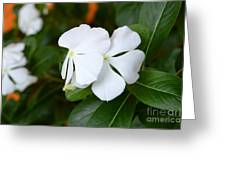 Catharanthus Roseus Greeting Card