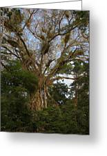 Cathedral Fig Tree Greeting Card