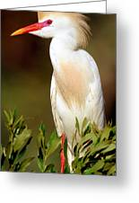 Cattle Egret Adult In Breeding Plumage Greeting Card
