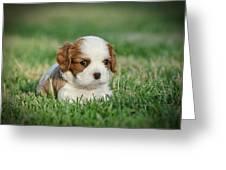 Cavalier King Charles Spaniel Puppy Greeting Card