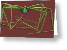 Cellar Spider (physocyclus Mexicanus) Greeting Card