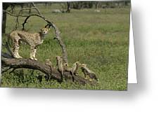 Cheetah  Acinonyx Jubatus Greeting Card