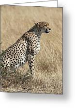 Cheetah Searching For Prey Greeting Card
