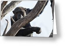 Chimpanzee Greeting Card