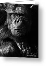 Chimpanzee Monochrome Portrait Greeting Card