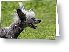 Chinese Crested Dog Greeting Card