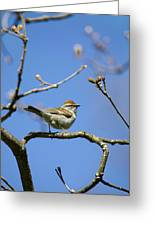 Chipping Sparrow Perched In A Tree Greeting Card