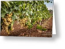Close Up Of Ripe Wine Grapes On The Vine Ready For Harvesting Greeting Card