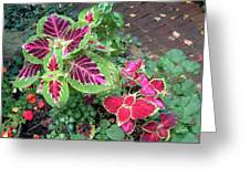 Coleus Excitement Greeting Card