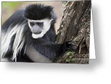 Colobus Monkey Greeting Card