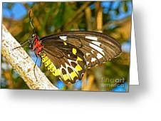 Common Birdwing Butterfly Greeting Card