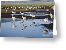 Common Crane Grus Grus Greeting Card