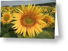 Common Sunflower Helianthus Annuus Greeting Card