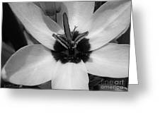 Corn Lily Named Giant Greeting Card