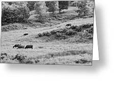 Cows Grazing In Field Rockport Maine Greeting Card
