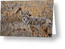Coyote Eyes Greeting Card by David Armstrong