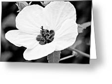 Crimson-eyed Mallow Greeting Card
